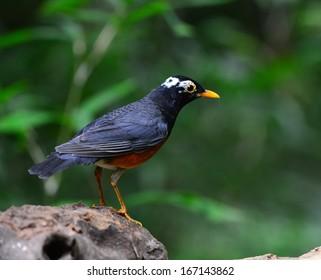 Black-breast Thrush (Turdus dissimillis), standing on the log.
