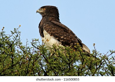 Black-breasted snake eagle (Circaetus gallicus) perched on a branch