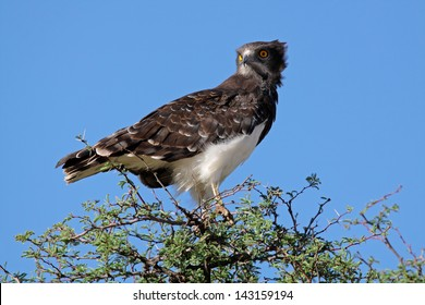 Black-breasted snake eagle (Circaetus gallicus) perched on a tree, Kalahari, South Africa