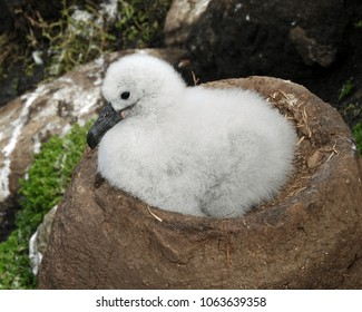 Black-Browed Albatross Chick in Nest at West Point Island, Falkland Islands