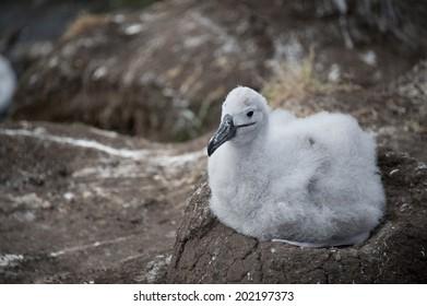 Black-browed Albatross chick, Saunders Falkland Island