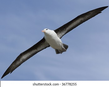 Black-browed albatross (Diomedea melanophris) flying near Saunders Island, Falkland Islands