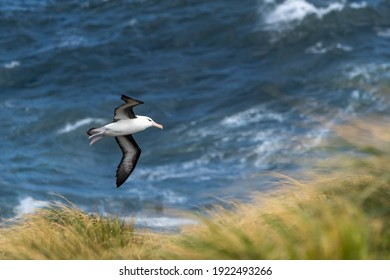 A black-browed albatross flies over the Scotia Sea and the tussock grass of West Point Island in the Falkland Islands.