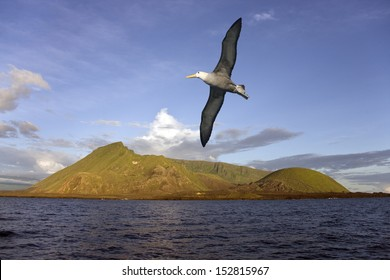 Black-browed Albatross flying near the Ecuador Volcano on Isabella Island in the Galapagos Islands. The least active of the 6 volcano's on Isabella. It is exactly on the equator.