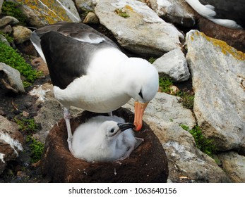 Black-Browed Albatross parent and chick at West Point Island, Falkland Islands
