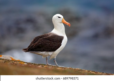 Black-browed albatross, sitting on the cliff. Albatross with dark blue water in the background, Falkland Island. Sea bird in the nature habitat.