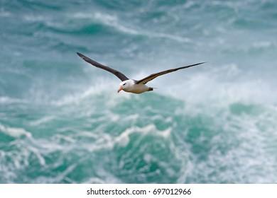 Black-browed albatross, Thalassarche melanophris, bird in flight, wave of the Atlantic sea, on the Falkland Islands. Action wildlife scene from the ocean.