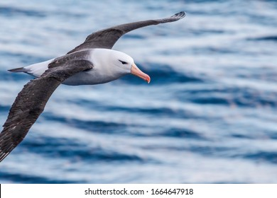 Black-browed Albatross (Thalassarche melanophris) in South Atlantic Ocean, Southern Ocean, Antarctica