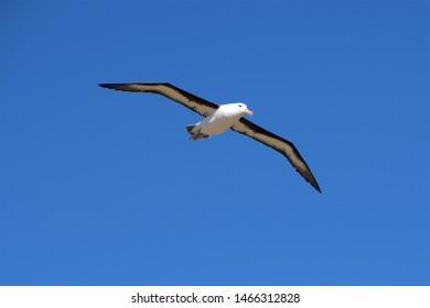 Black-browed Albatrosses on the Falkland Islands