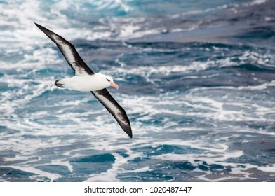 A black-browed or Campbell Island albatross swoops low over a gale driven Southern Ocean, south of New Zealand