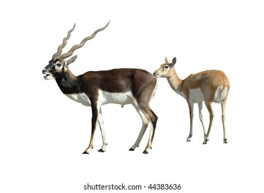 Blackbuck Antelope Couple Isolated on White Background with Clipping Path