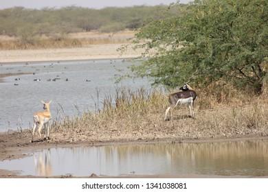 blackbuck antelope drinking water from lake at blackbuck national park, velavadar, Gujarat