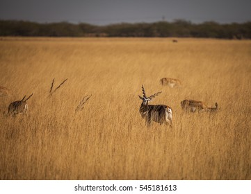 blackbuck is an antelope found in India and Nepal. blackbuck as Near Threatened.