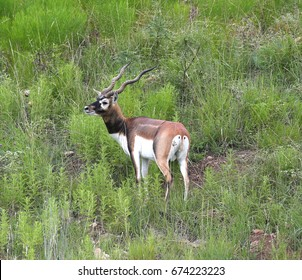 black-buck antelope in hill country of texas