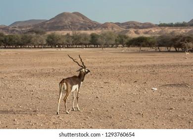 Blackbuck Antelope at Sir Bani Yas Island