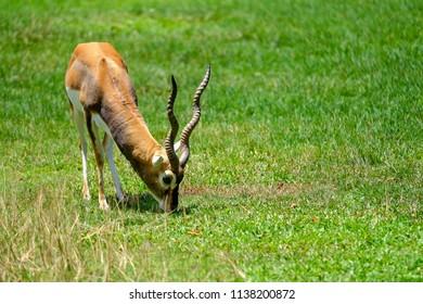 Blackbuck ( Antilope cervicapra )