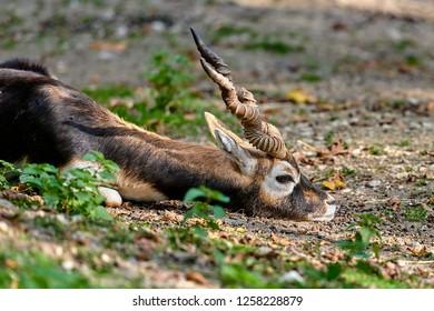 Blackbuck (Antilope cervicapra)