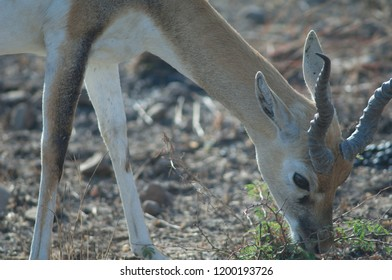 Blackbuck (Antilope cervicapra) feeding. Male in captive conditions. Devalia. Sasan Gir. Gujarat. India.