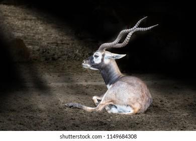 Blackbuck (Antilope cervicapra) also known as Indian Antelope.