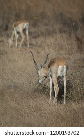 Blackbuck (Antilope cervicapra). Male browsing in captive conditions. Devalia. Sasan Gir. Gujarat. India.