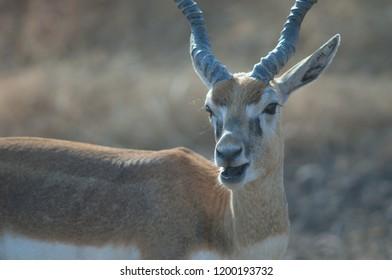 Blackbuck (Antilope cervicapra). Male in captive conditions. Devalia. Sasan Gir. Gujarat. India.