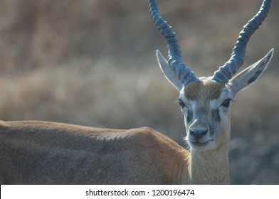 Blackbuck (Antilope cervicapra). Male in captive conditions. Devalia. Sasan Gir. Gujarat. India.