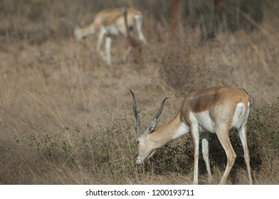 Blackbuck (Antilope cervicapra). Male feeding in captive conditions. Devalia. Sasan Gir. Gujarat. India.