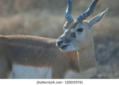 Blackbuck (Antilope cervicapra). Male ruminating in captive conditions. Devalia. Sasan Gir. Gujarat. India.