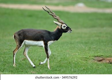 blackbuck (Antilope cervicapra)  in nature