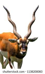 Blackbuck ( Antilope cervicapra ) on white background