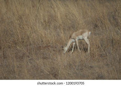 Blackbuck (Antilope cervicapra). Young male feeding in captive conditions. Devalia. Sasan Gir. Gujarat. India.