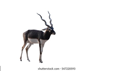 blackbuck (Antilope cervicapra) in zoo on white background