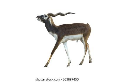 blackbuck antilope isolated on white background