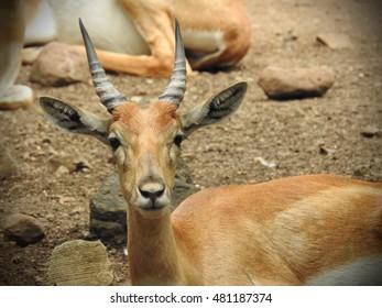 Blackbuck Deer