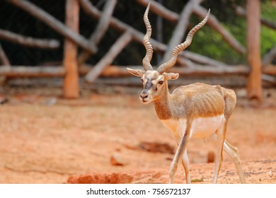 Blackbuck deer antelope