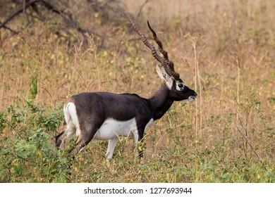 Blackbuck deer in evening lights