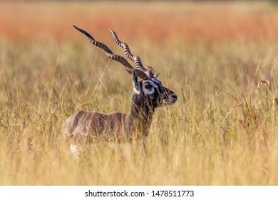 A  Blackbuck in a dry grassland, Gujarat, India