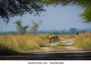 Blackbuck and fawn affection in a beautiful open grass field at outdoors with a scenic background and skyline at tal chappar sanctuary, churu, rajasthan, india