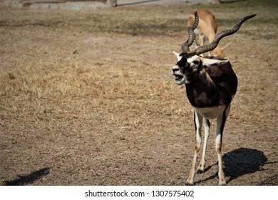 Blackbuck in  the  grassland