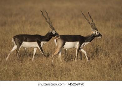 Blackbuck (Indian Antelope)