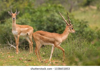 Blackbuck - Juvenile Male