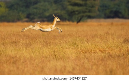 The blackbuck also known as the Indian antelope is an antelope found in India, Nepal, and Pakistan. The blackbuck is the sole extant member of the genus Antilope.
