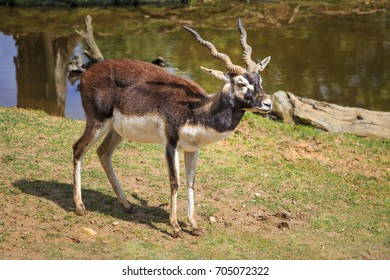 The blackbuck, also known as the Indian antelope, is an antelope found in India, Nepal and Pakistan
