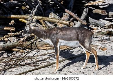 Blackbuck male in its enclosure. Latin name - Antilope cervicapra