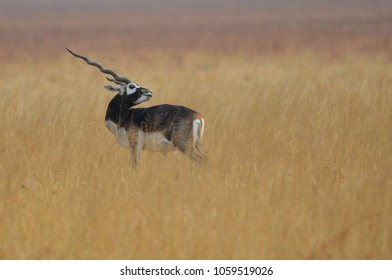 Blackbuck National Park at Velavadar is situated in the Bhavnagar District of Gujarat state, India. Established in 1976 in the Bhal region of Saurashtra, the park is located around 42 km bhavnagar