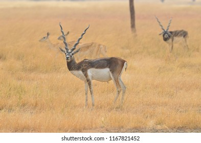 Blackbuck National Park at Velavadar is situated in the Bhavnagar District of Gujarat state, India.