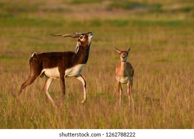 Blackbuck at Odisha