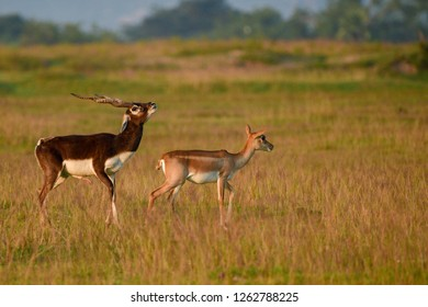 Blackbuck at Odisha