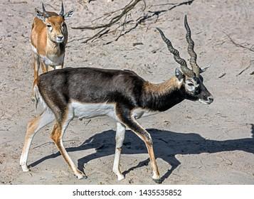 Blackbuck on the sand in its enclosure. Latin name - Antilope cervicapra