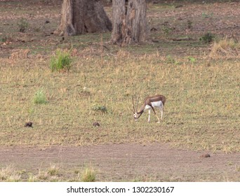 Blackbuck in the open jungle